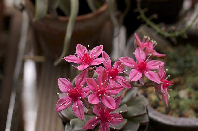 花を咲かせる多肉植物