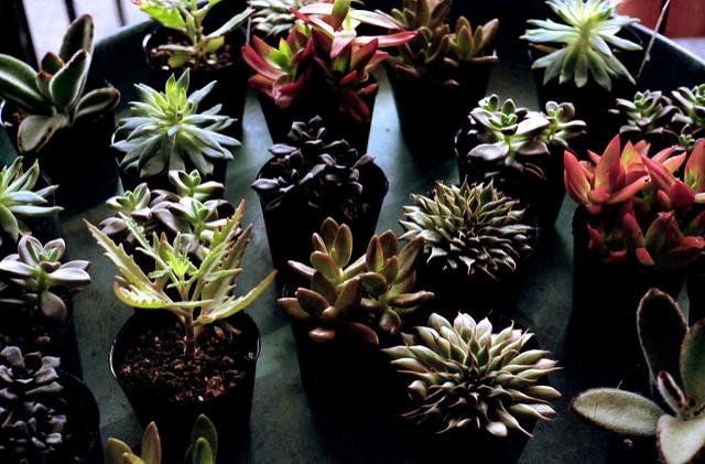 冬の間は室内に入れる多肉植物